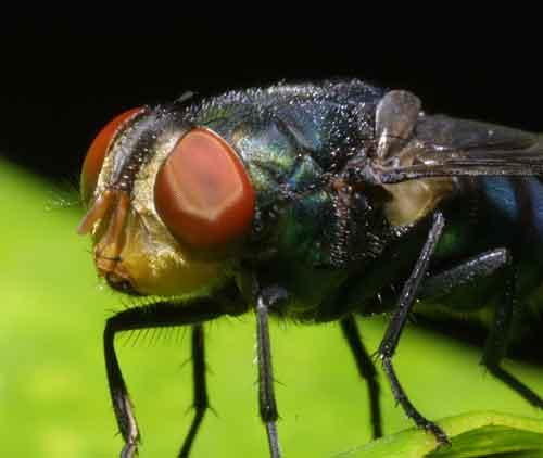 Calliphoridae (blow fly) 3