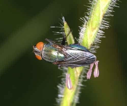 Calliphoridae (blow fly) 4
