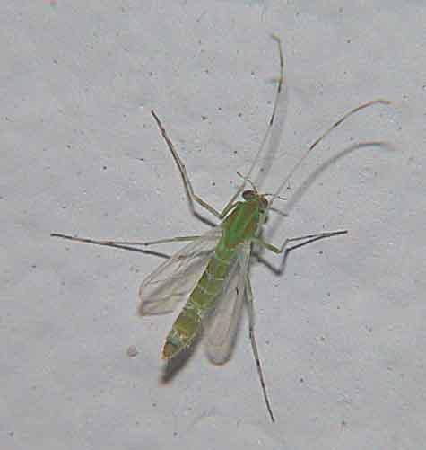 Chironomidae (non-biting midge)