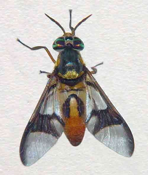 Chrysops (deer fly)