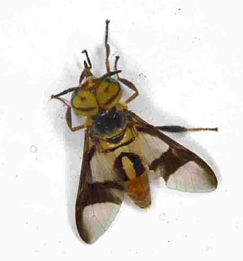 Chrysops (deer fly) 1