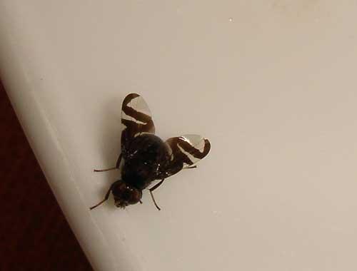 Chrysops (deer fly) 3