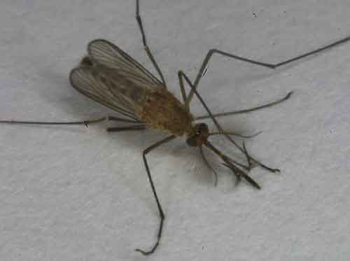 Culicidae (mosquitoes) 1