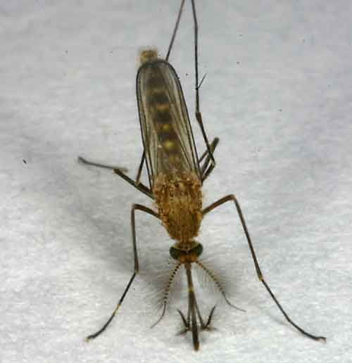 Culicidae (mosquitoes) 2