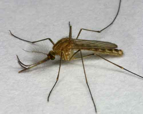Culicidae (mosquitoes) 3