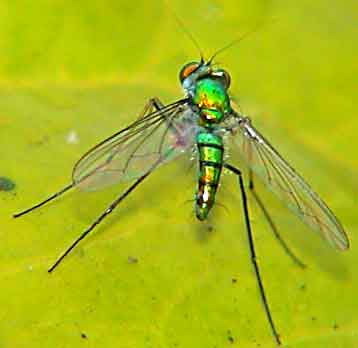 Dolichopodidae (long-legged flies) only a video camera can capture the spectacular landings and take-offs