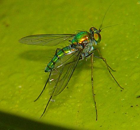 Dolichopodidae (long-legged flies)