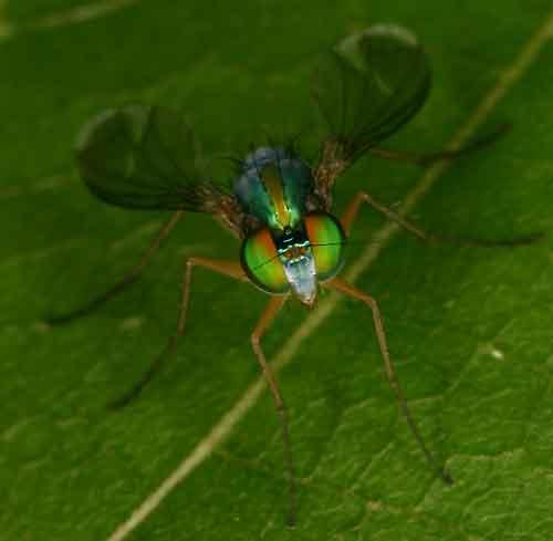 Dolichopodidae 10