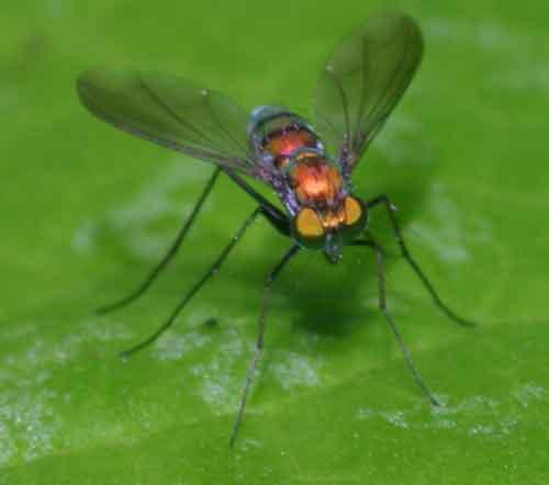 Dolichopodidae 11