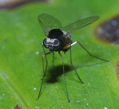 Dolichopodidae 12