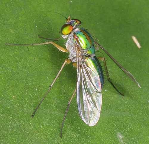 Dolichopodidae 13