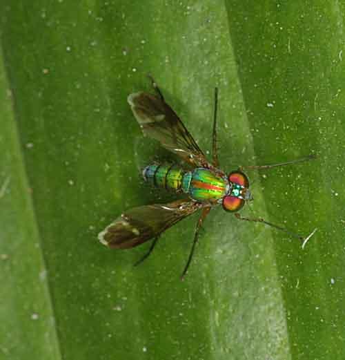Dolichopodidae 2