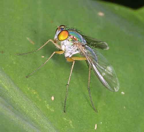 Dolichopodidae 3
