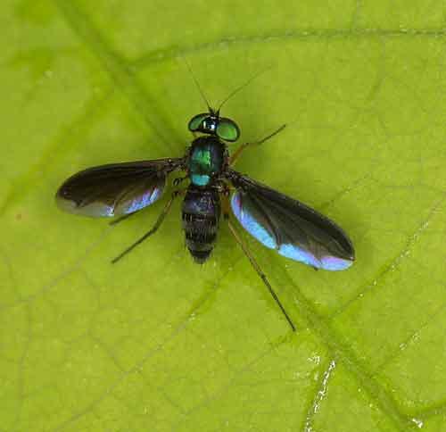 Dolichopodidae 4