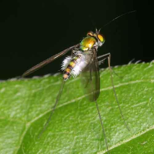 Dolichopodidae 5