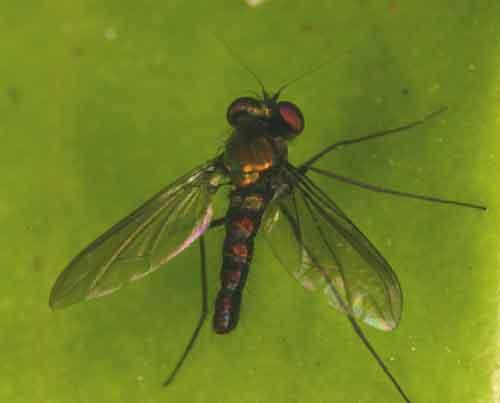 Dolichopodidae 6