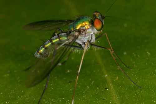 Dolichopodidae 7