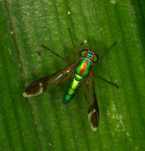 Dolichopodidae 8