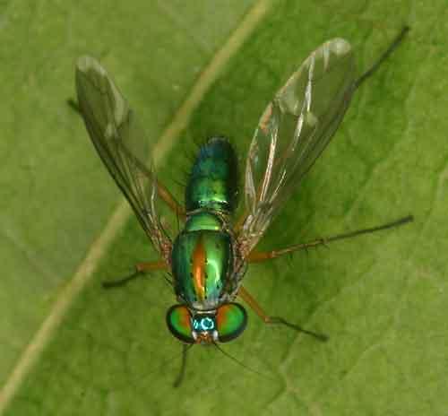 Dolichopodidae 9