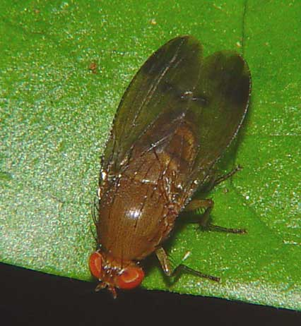 Lauxaniidae, Homoneura sp