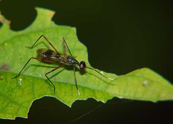 Micropezidae (Stilt-legged Flies) 0