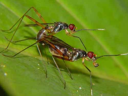 Micropezidae (Stilt-legged Flies) 2