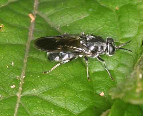 Stratiomyidae (soldier fly)