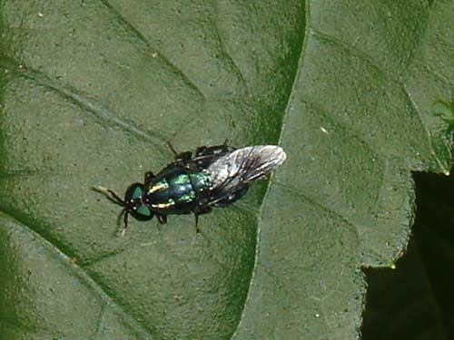 Stratiomyidae (soldier fly) 1