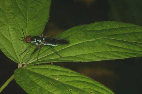 Stratiomyidae (soldier fly) 2