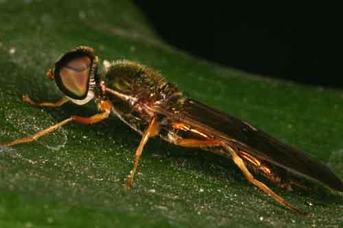 Stratiomyiidae (soldier fly) 3