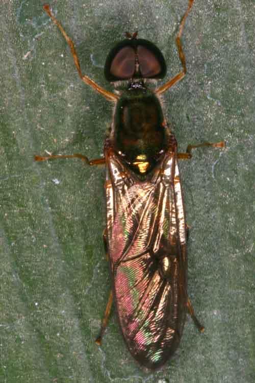 Stratiomyiidae (soldier fly) 4