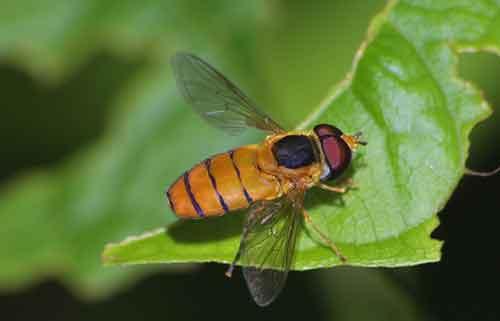 Syrphidae Asarkina porcina 1 (hoverfly)