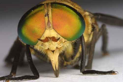 Tabanidae (deer fly) 0