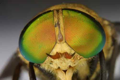 Tabanidae (deer fly) 1