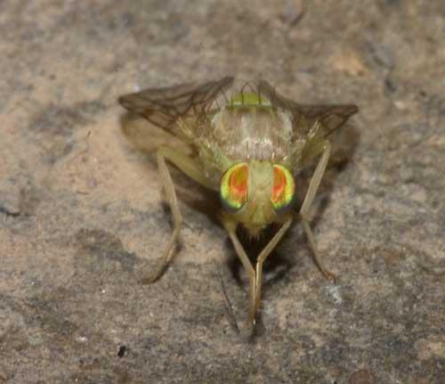 Tabanidae (deer fly) 2