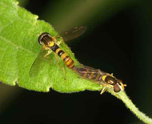 Tachinidae ((parasitic fly) 10