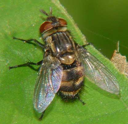 Tachinidae (parasitic fly) 2