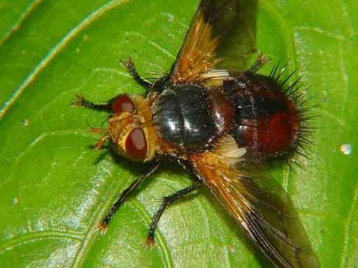 Tachinidae (parasitic fly) 3