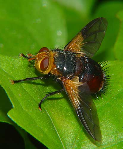 Tachinidae (parasitic fly) 4