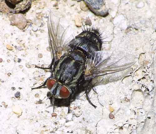 Tachinidae (parasitic fly) 5