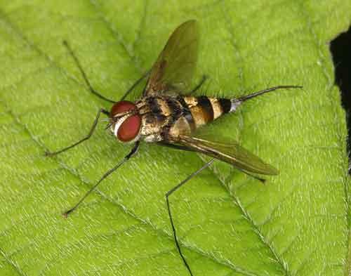 Tachinidae (parasitic fly) 6