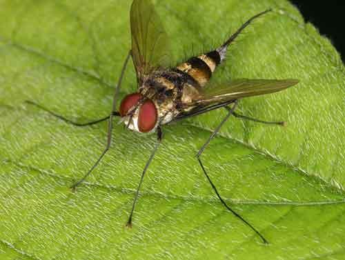 Tachinidae (parasitic fly) 7