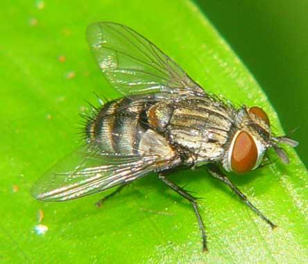 Tachinidae (parasitic fly)1