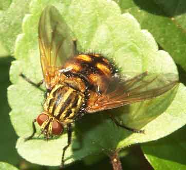 Tachinidae (parasitic fly)8