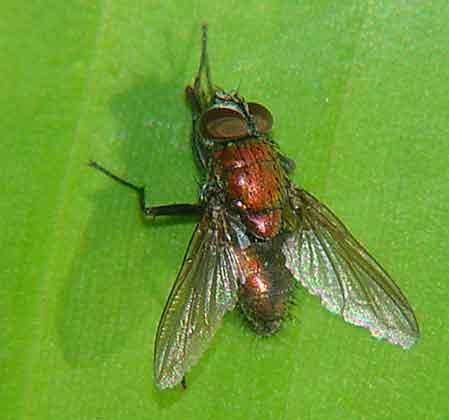 Tachinidae or Callaphoridae