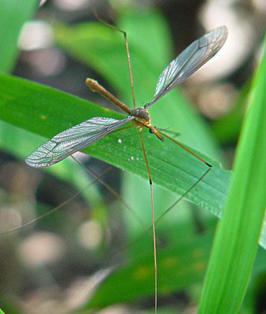 Tipulidae (crane flies) 0