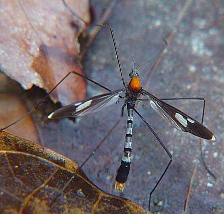Tipulidae (crane flies) 1