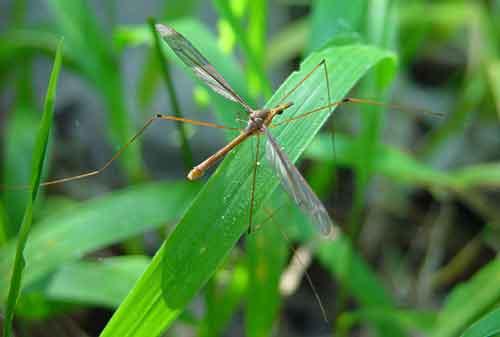 Tipulidae-(crane-flies) 10