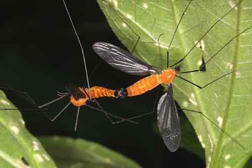 Tipulidae (crane flies) 3