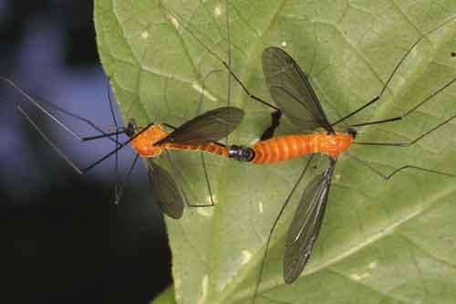 Tipulidae (crane flies) 4